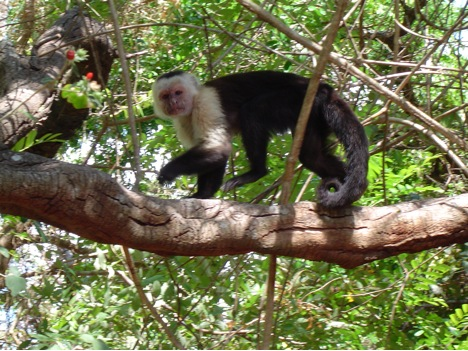 White faced capuchin monkeys are commonly seen.
