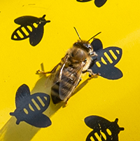 Illinois Wesleyan Lands Bee Campus USA Certification