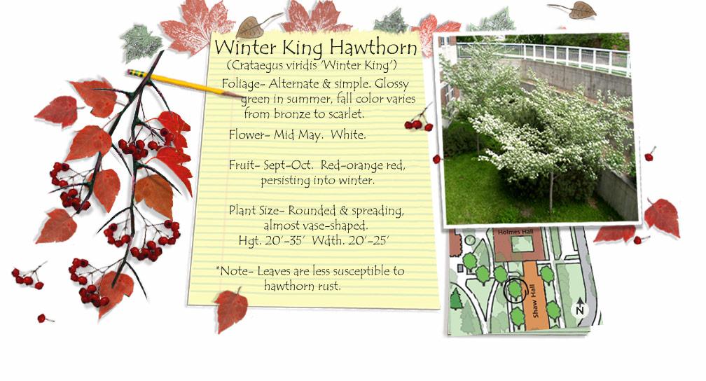 Crataegus viridis 'Winter King'