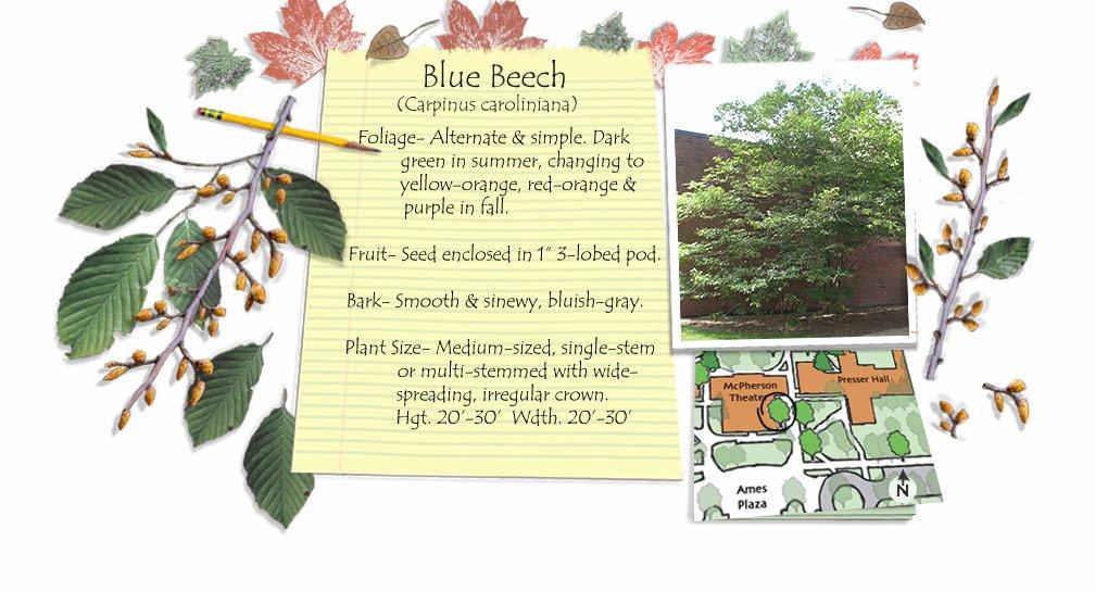 Blue Beech