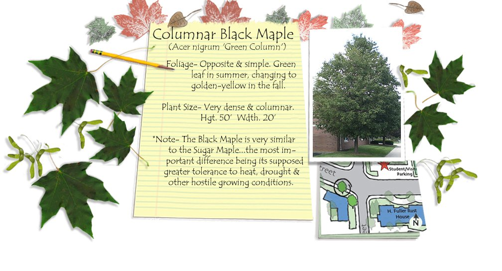 Columnar Black Maple