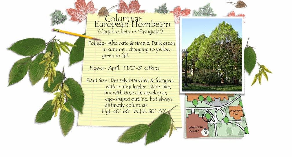 Columnar European Hornbeam