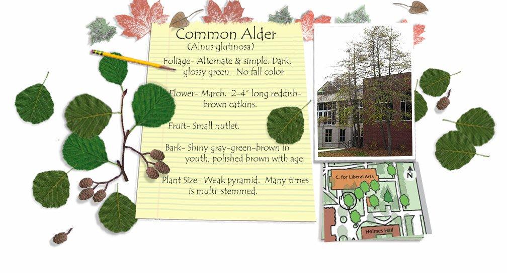 Common Alder