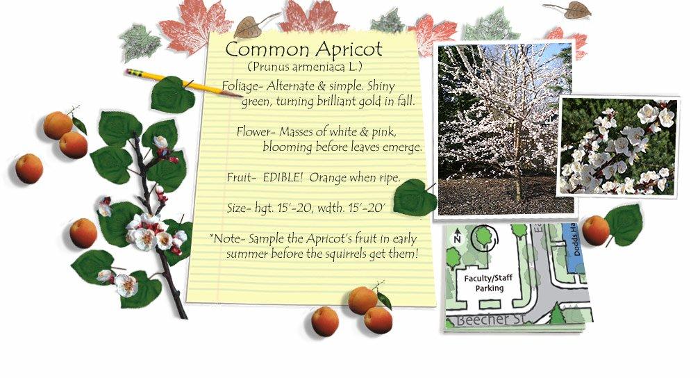 Common Apricot