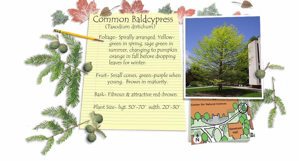 Common Baldcypress