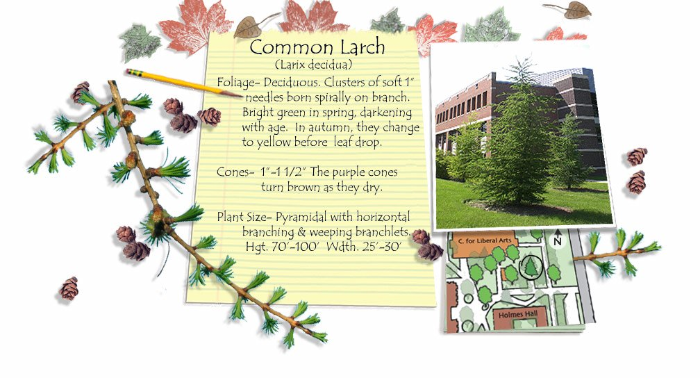 Common Larch