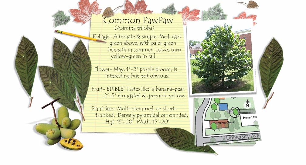 Common PawPaw