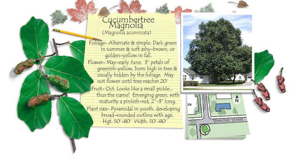 Cucumbertree Magnolia