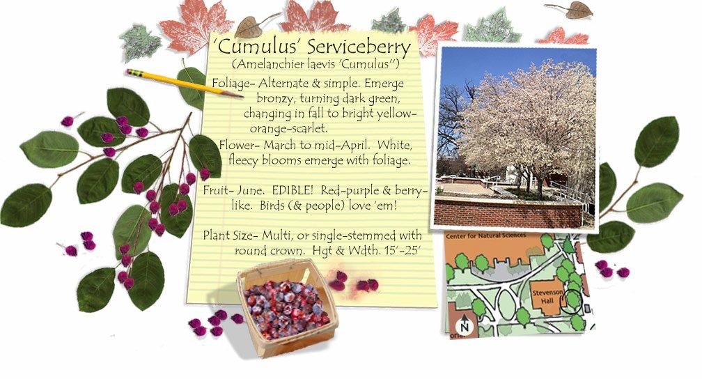 Cumulus Serviceberry