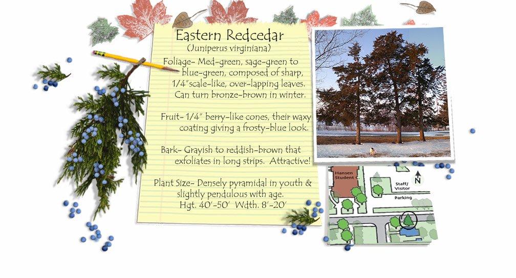 Eastern Redcedar