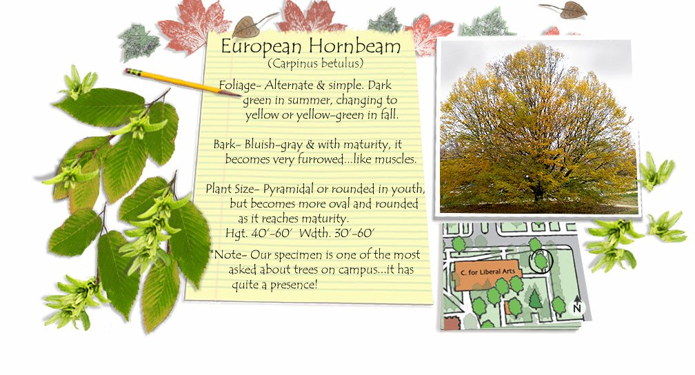 European Hornbeam