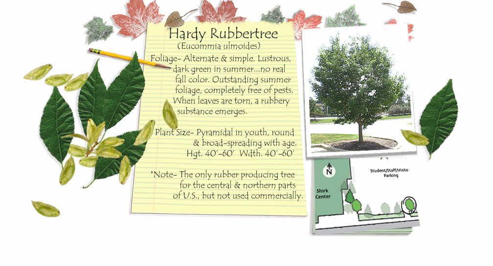Hardy Rubbertree