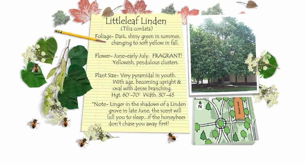 Littleleaf Linden
