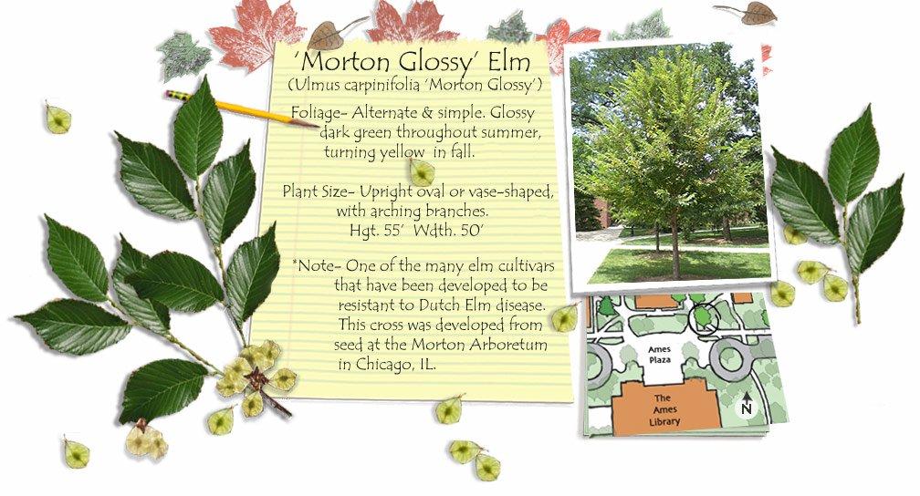 Morton Glossy Elm