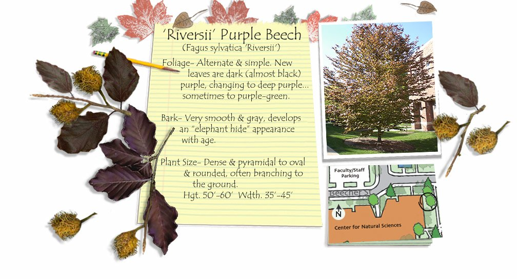 Riversii Purple Beech