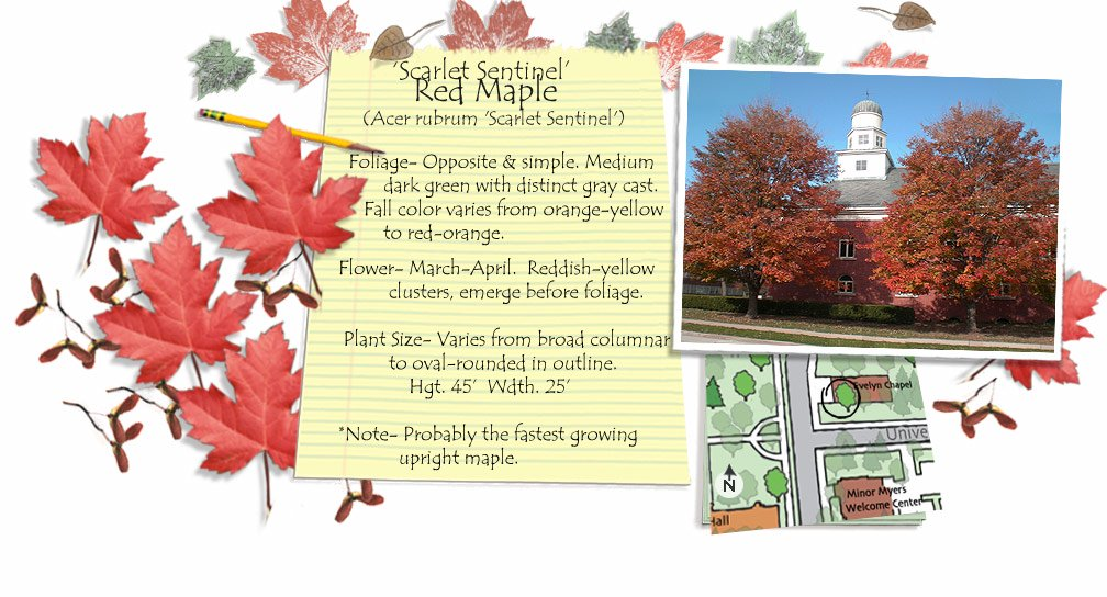 Scarlet Sentinel Red Maple