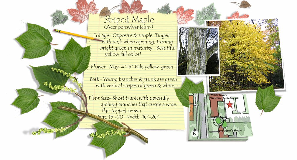 Striped Maple