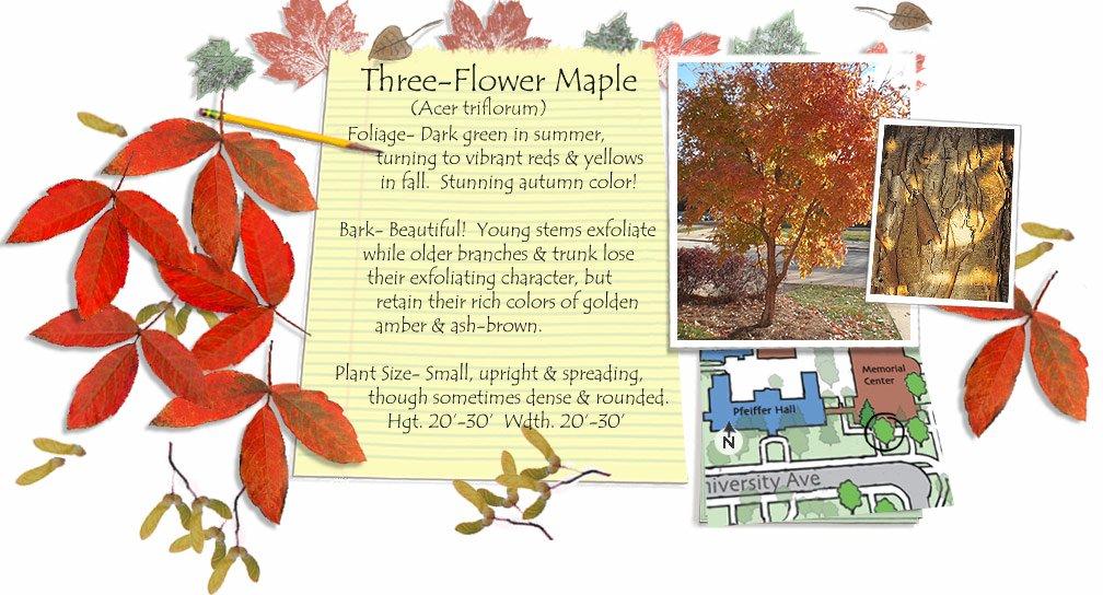 Three-Flower Maple