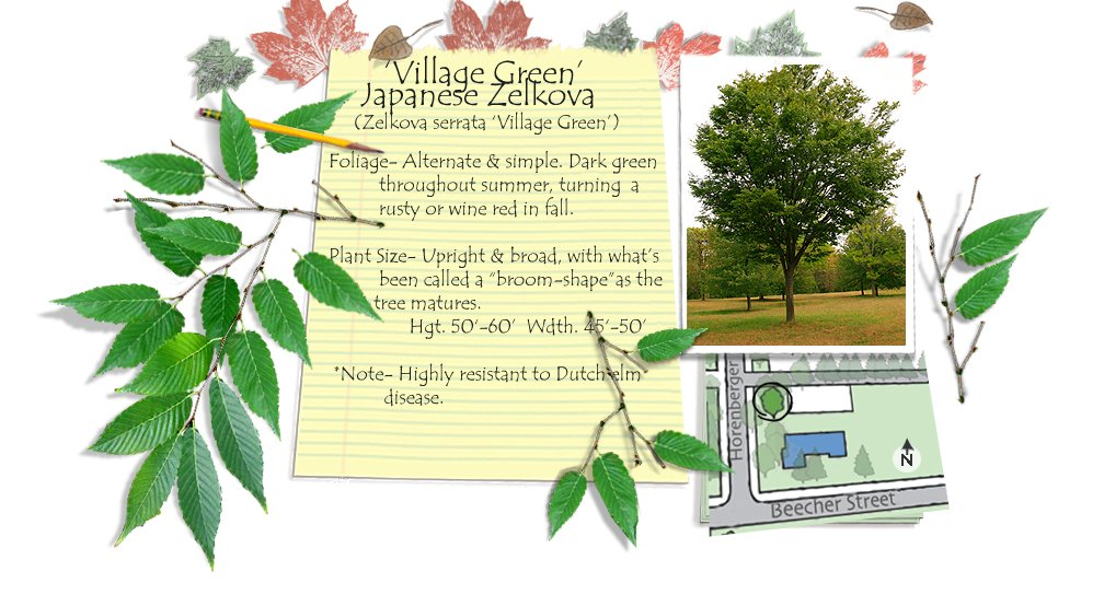 Village Green Japanese Zelkova